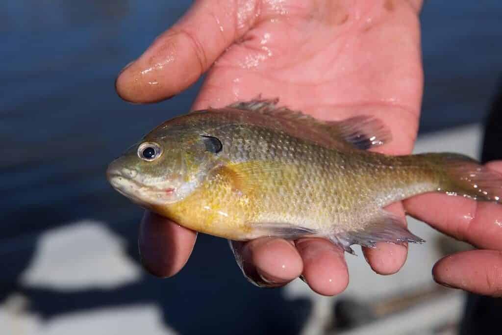 Image of bluegill fish